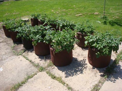 Potato Grow Bag Experiment