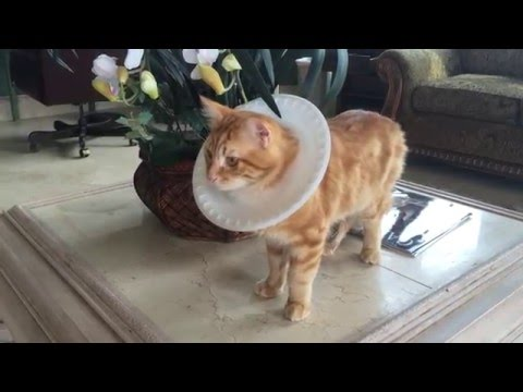 Jack the Cat demos Paper Plate E-Collar part 2