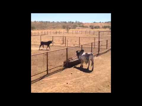 Bull leaps over 7ft high fence