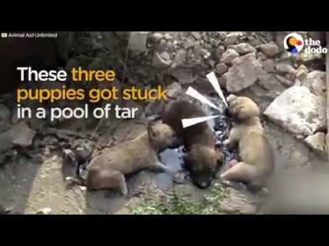 Puppies Stuck In Pool Of Tar Cried Until Someone Hears Them