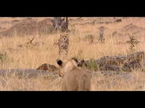 cheetah chases lion