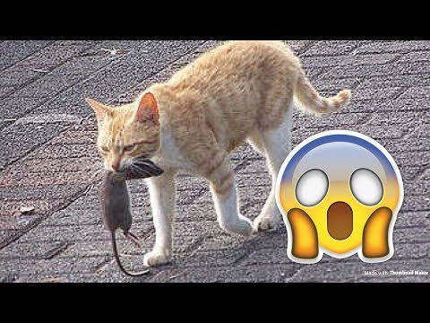 CAT AND MOUSE FIGHT INSIDE MY HOUSE CAT CATCHES IT!!!!