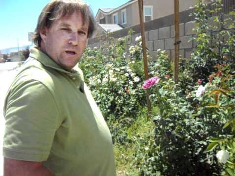 Rose Gardening Weed Control With RoundUp Herbicide.AVI