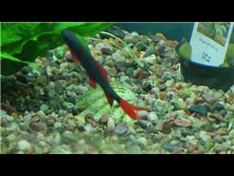 Fish Tanks & Aquarium Maintenance : How to Clean Rocks from a Fish Tank