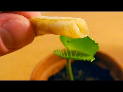 Eating MINIATURE PANCAKES with Charlie the Venus Flytrap eating swallowing ASMR