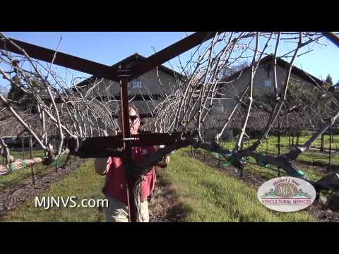 Napa Valley Vineyard with an Open Trellis System