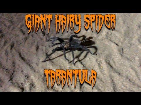 Bearded Dragon Owners // Giant Hairy Spider (Tarantula).