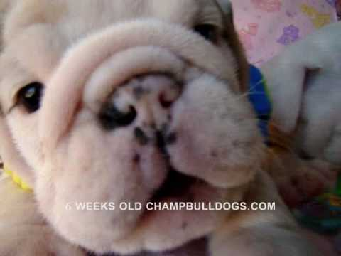 BEST ENGLISH BULLDOG PUPPIES LIFE STAGES VIDEO New born to 6 weeks old.