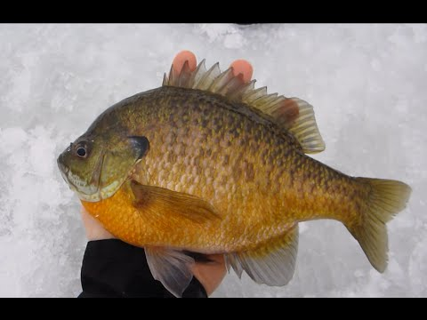 Mid winter ice fishing hand sized Bluegills