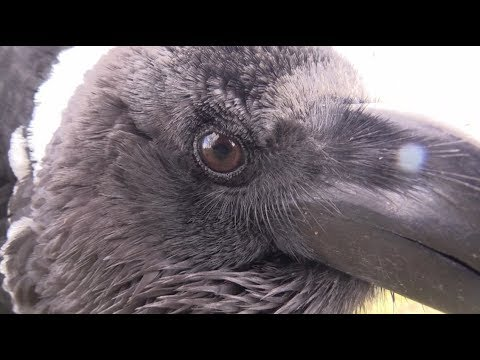 Raven Talks Accidently to Human (And isn't happy) -- Mimic corvids back!