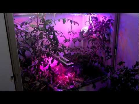 Growing tomatoes with LED