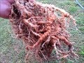 Treating root Knot Nematodes with Neem, marigolds & molasses + some handy info on Neem..