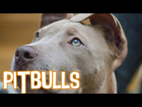 Myths About Pit Bulls Debunked