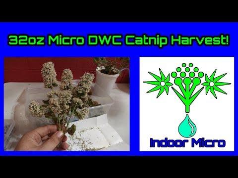 32oz Micro DWC Hydroponic System 95 Day Catnip Grow Harvest