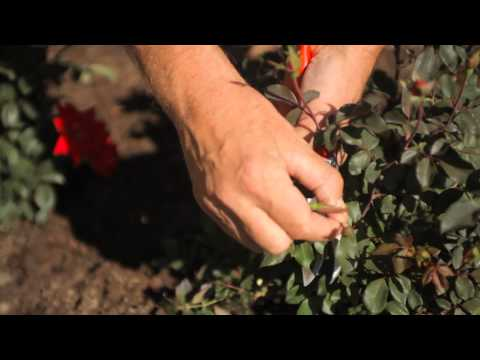DIY Winter Pruning for Knockout Roses : Fall & Winter Gardening Tips