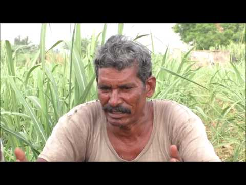 A Success Story - Sugarcane Cultivation in Natural Farming Method