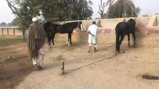 Best Desi horse Mirjan clot under training Pakistan Neza