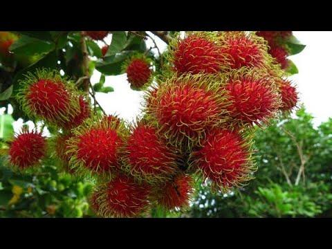 Rambutan weird hairy fruit taste review