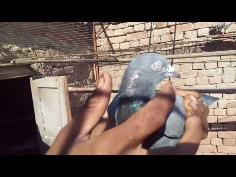 Kabootar ke mukhtalif Eqsaam / Laal Sera / Sialkoti / Gola / Laqa / Sawa