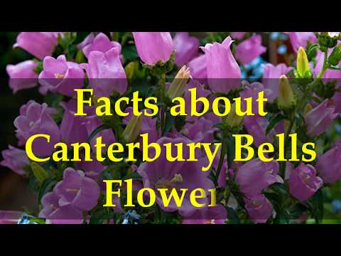 Facts about Canterbury Bells Flowers