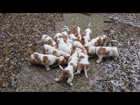 Dramijos Basset Hound Puppies 8 weeks old