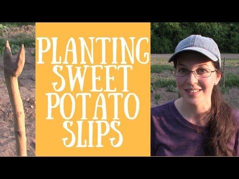 Planting Sweet Potato Slips with a Stick