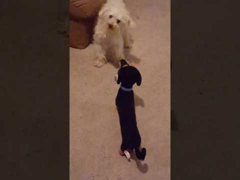 Dog Thinks Stuffed Animal Is Real
