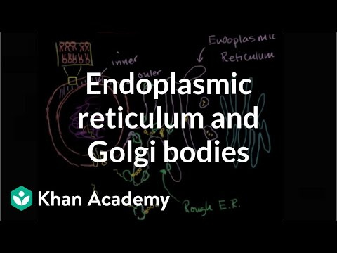Endoplasmic reticulum and Golgi bodies   Biology   Khan Academy