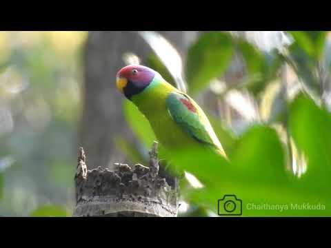 plum headed parakeet in my cool pix p900