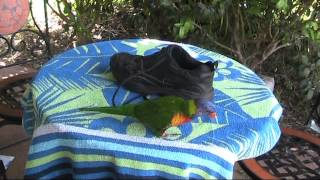 How To Catch A Lorikeet
