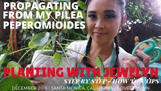 Planting with Jewelyn: Propagating from my Pilea Peperomioides | Dec 2018 | ILOVEJEWELYN