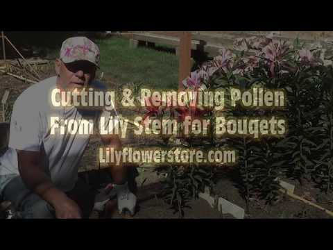 Removing Pollen from Lilies