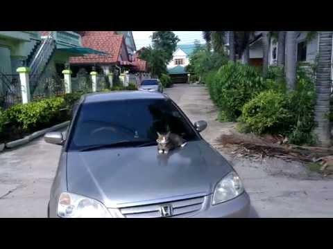 Cat on a car bonnet