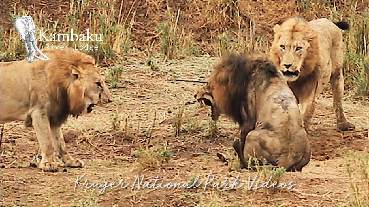 Final Fight of the Lion King in Epic Battle Full Movie | Wildest Africa - Epic Wildlife Videos