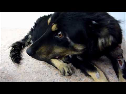 Howl Of A Dog - Terrified Abandoned Homeless Dog's Rescue and Amazing Transformation.