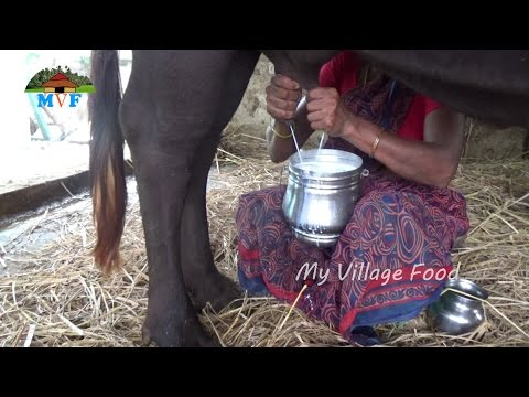 How to Make Curd from Milk at Village || My Village Buffalo Milk Sucking || My Village Food 2016