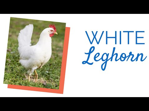 White Leghorn Chicks for Sale | Chickens For Backyards