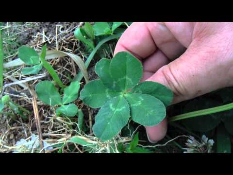 Six-leaf clover that found in Japan.Very rare.