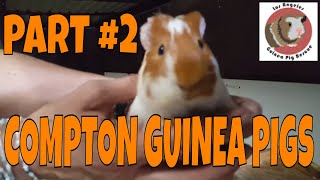Part 1 - Compton Animal Shelter Rescued Guinea Pig Check in