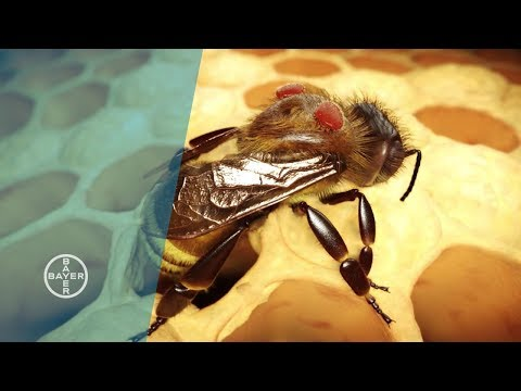 Varroa Mites: Why Bees are Dying