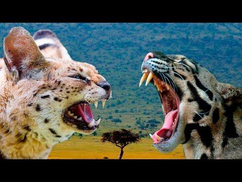 Serval vs Ocelot Cat - Differences Explained