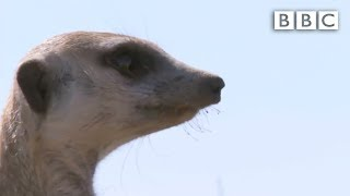 Ernesto, the snake-bitten meerkat