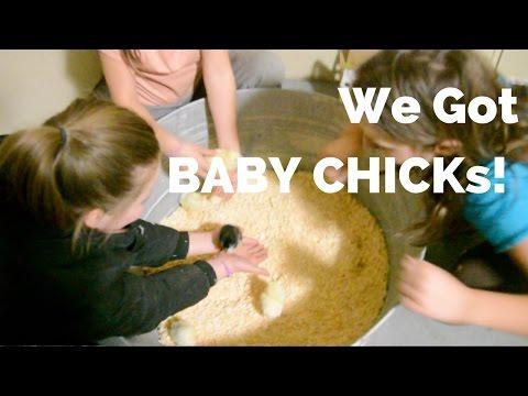 We Got Baby Chicks 2017 (again) - #ChickDays