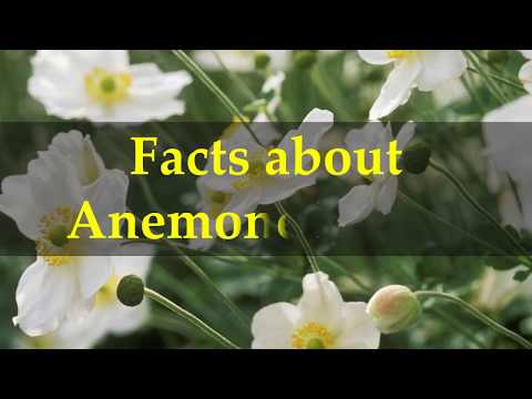 Facts about Anemone Plants