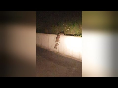 Watch Raccoons Create Chain So Mom Can Pull Her Baby Over a Wall