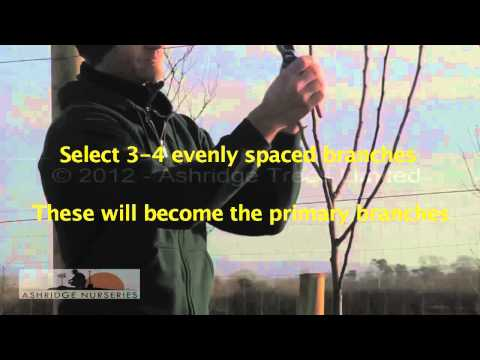 9 - Pruning a 2 year old fruit tree for a half standard sized adult tree
