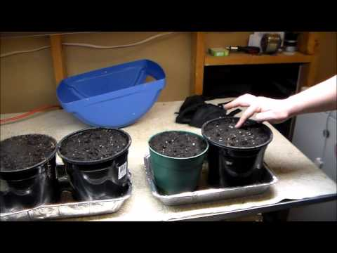Planting Carolina Reaper Seeds
