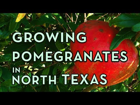 Pomegranate Tree Growing in North Texas – Facts You Should Know