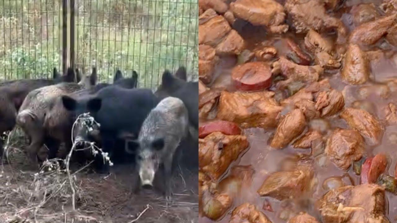 Trapping Wild Pigs In Louisiana(Catch*Clean*Cook) Cajun Jambalaya