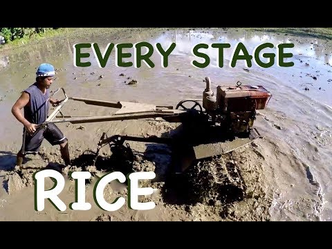 RICE FARMING, EVERY STAGE FROM START TO FINISH